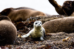 A very curious little sea lion Stock Images
