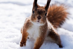 Very curious squirrel Royalty Free Stock Image