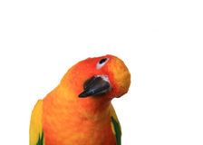 Very Curious Sun Conure. Bold Colored Sun Conure Parrot With Head Cockeyed Royalty Free Stock Photography