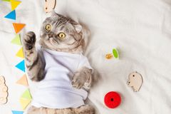 Very cute baby cat, with toys and a pacifier. In a white T-shirt, lying on his back. Kitty, funny animal.  stock photo