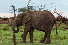 Very Cute Baby Elephant Isolated eating vegetation grass with trunk Royalty Free Stock Image