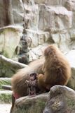Very cute baby hamadryas baboon sitting behind her parents Royalty Free Stock Images