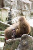 Very cute baby hamadryas baboon sitting behind her parents Stock Photo