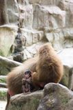 Very cute baby hamadryas baboon sitting behind her parents Royalty Free Stock Photos