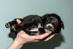 Very cute black puppies. The black and white little dog. Royalty Free Stock Photography