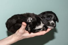 Very cute black puppy. Beautiful puppies. little puppies. The black and white little dog on the hand Stock Photo
