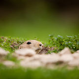 Very cute black tailed prairie dog Royalty Free Stock Photography