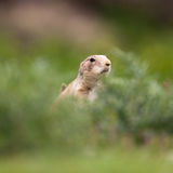 Very cute black tailed prairie dog Stock Photo