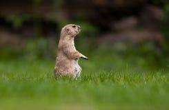 Very cute black tailed prairie dog Royalty Free Stock Photos