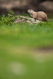 Very cute black tailed prairie dog Stock Image