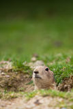 Very cute black tailed prairie dog Stock Images