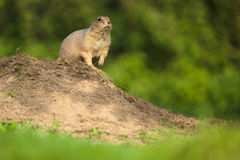 Very cute black tailed prairie dog Royalty Free Stock Photo