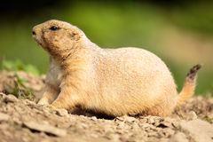 Very cute black tailed prairie dog Royalty Free Stock Image