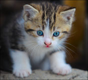 A very cute blue eyed kitten. An adorable blue eyed kitten, with white front legs and tiger like head Royalty Free Stock Photos