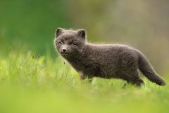 Very cute blue morph arctic fox cub standing alone in the meadow Royalty Free Stock Image