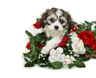 Free Very Cute Cavachon Puppy Stock Photos - 22757633