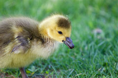 Very cute chick is eating the grass Royalty Free Stock Photography