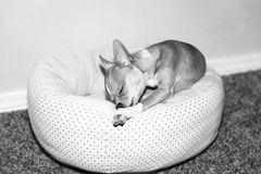 Very cute chihuahua chewing on treat in dog bed. Royalty Free Stock Image