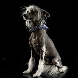 Very cute chinese crested dog sitting in black background. Very cute chinese crested dog sitting in a black background Royalty Free Stock Photos