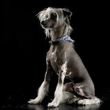 Very cute chinese crested dog sitting in black background. Very cute chinese crested dog sitting in a black background Stock Photography
