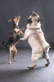 A very cute click showing stills of two pet dogs jumping while looking upwards Royalty Free Stock Photography