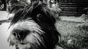 A very cute and cuddly black and white dog... stock images