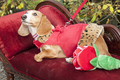Very cute dachshund mix Stock Photography