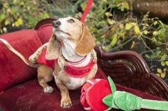 Very cute dachshund mix Stock Photos