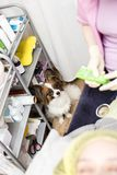 Very cute dog - the assistant closely watches as a physician bea stock photos