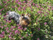 Very cute dog Yorkshire terrier between flowers Royalty Free Stock Images