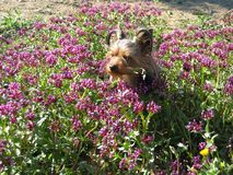 Very cute dog Yorkshire terrier between flowers Royalty Free Stock Photography