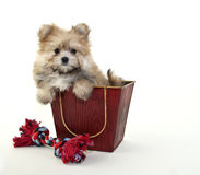 Very cute Fuzzy Puppy Stock Image
