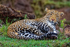 Leopard Sleeping in Masai Mara Royalty Free Stock Photography