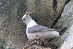 Very cute little gull, rare in nature. Red-legged kittiwake Royalty Free Stock Image