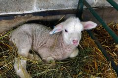 Very Cute Little Lamb stock images