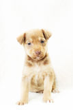 Very cute little puppy Royalty Free Stock Images