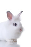 Very cute little white rabbit Royalty Free Stock Image