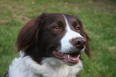 A very cute liver and white collie cross springer spaniel pet dog Stock Images