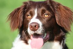 a very cute liver and white collie cross springer spaniel pet dog Stock Photo
