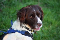 A very cute liver and white working type english springer spanie Royalty Free Stock Images