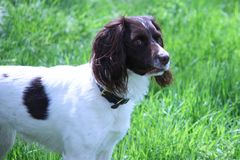A Very cute liver and white working type english springer spaniel Stock Image