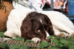 A Very cute liver and white working type english springer spaniel Royalty Free Stock Images