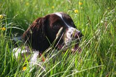 Very cute liver and white working type english springer spaniel pet gundog Stock Images