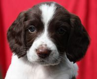 A very cute liver and white working type english springer spaniel pet gundog puppy Stock Photography
