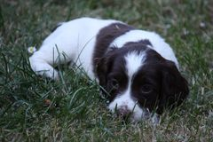 A very cute liver and white working type english springer spaniel pet gundog puppy Stock Image