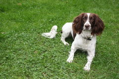 A very cute liver and white working type english springer spaniel pet gundog puppy Royalty Free Stock Photography