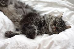 Very cute long haired black and brown tabby cat lying on a white background Stock Photo