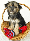 Very Cute Morkie Puppy Stock Photo