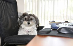 Very Cute Parti Colored Female Havanese dog is acting bossy stock photo