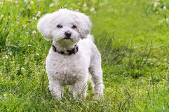 A very cute photograph of a Maltese dog. A very cute portrait photograph of a white Maltese dog against a fresh, green background Royalty Free Stock Image